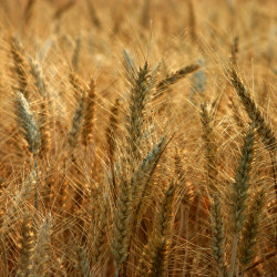 wheat-field-1201133